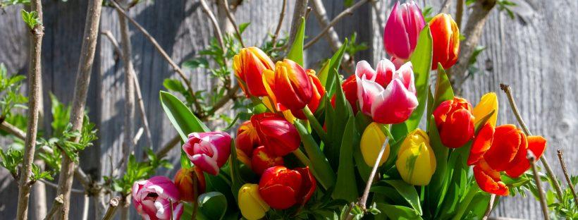 Frühjahrs-Tulpen